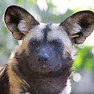 African Wild Dog by Robert Abraham