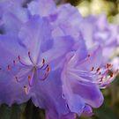 Purple Rhododendron by Judi Corrigan