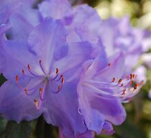 Purple Rhododendron by Judi Corrigan