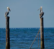 Pelican Chat by Andy Mueller