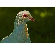 Albino Pigeon 2 Photographic Print