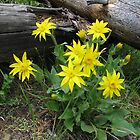 Yellow Mountain Daisy by Jeralynn
