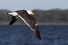 Pacific Gull  by Robert Elliott