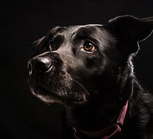 Mrs. Lucky Labrador by Johanne Brunet