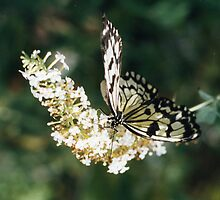 Black & White Butterfly by Brunoboy