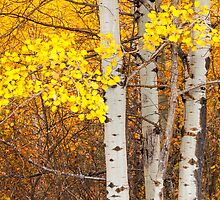Aspen Trunks and Leaves by lkamansky
