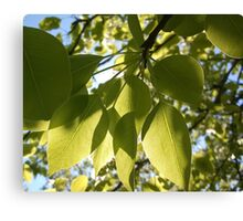 leaves, tree, spring , sunny, green, nature , branches Canvas Print