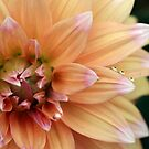 Dahlia Petals by Kimberly Palmer