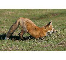 Foxy Play Photographic Print