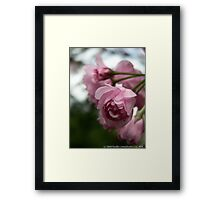 Pink Tree Blossoms Framed Print