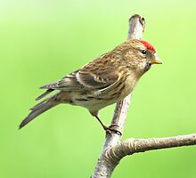 Common Red Poll - Carduelis Flammea by Robert Flynn