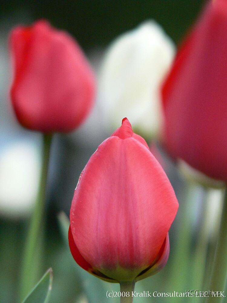 Red Tulip by KCGraphics