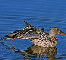 Female Northern Shoveler Stretching Out by John Absher