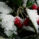 Winter Berries by KCGraphics