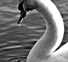 Swan Drinking by mhphotographyuk
