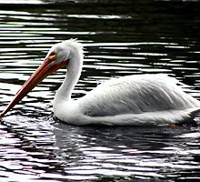 Pelican Swimming by Laurie Puglia