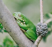 Green Tree Frog by Felicity McLeod