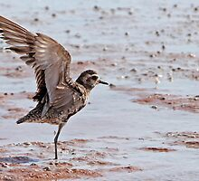 Pacific Golden Plover  by Robert Elliott
