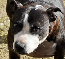 Staffordshire Bull Terrier  by Andrew Reid Wildman