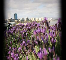 Lavender Perth by Kate Shaw