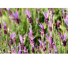 Butterfly Lavender Photographic Print