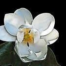 Magnolia Bloom by Nikki Collier
