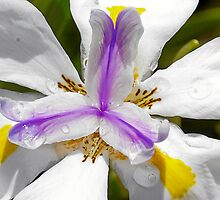Iris  - An Explosion of Friendly Colors by Christine Till  @    CT-Graphics