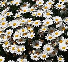 Oxeye Daisies - A Sea of Joy by Christine Till  @    CT-Graphics