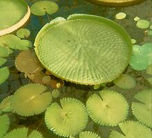 Waterlillies Lilypads by Zehda