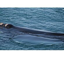 whale on the move. Photographic Print
