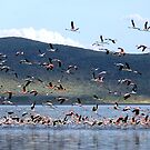 Flight of the Flamingo.....Lake Nakuru....kenya by Stephie Butler