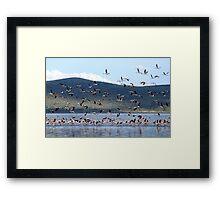 Flight of the Flamingo.....Lake Nakuru....kenya Framed Print