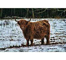 SCOTTISH ISLAND  BROWN COW..PICTURE AND OR CARD..(VERSION TWO) Photographic Print