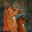 Llama fuzzies two for one sale! Shhh...stand still and PRETEND YOU ARE A GOAT by Normcar