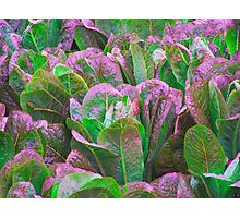 For The Love Of Lettuce Photographic Print