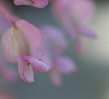 shy begonia by picketty