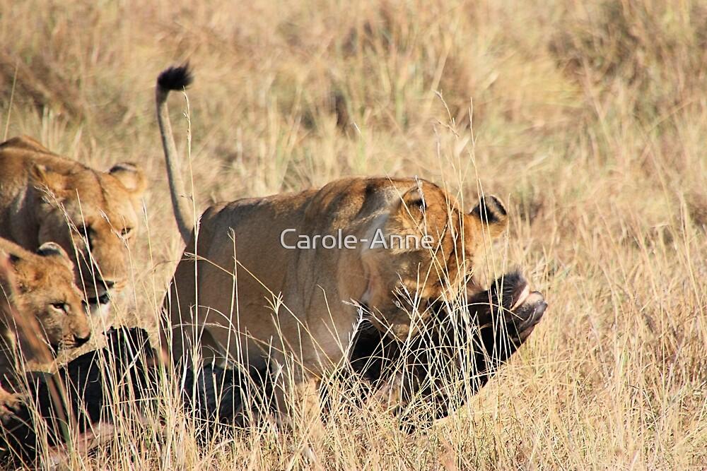 Female Lion Moving the Kill, Maasai Mara, Kenya  by Carole-Anne