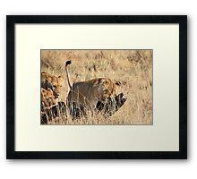 Female Lion Moving the Kill, Maasai Mara, Kenya  Framed Print
