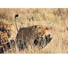 Female Lion Moving the Kill, Maasai Mara, Kenya  Photographic Print