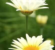Two yellow daisies by Victoria Kidgell