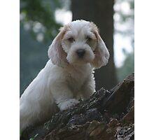 PBGV Puppy Photographic Print