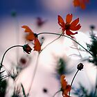Cosmos flowers and city bokeh, Omotesando, Tokyo by Alfie Goodrich