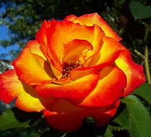 pretty colored rose by tomcat2170