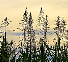 Sweet Grass by mawaho