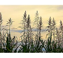 Sweet Grass Photographic Print