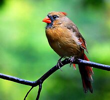 Female Cardinal  by LjMaxx