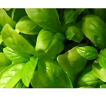 Basil Photographic Print
