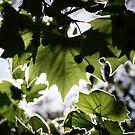 Sunny Leaf by Keith Smith