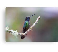 Magnificent hummingbird - Costa Rica Canvas Print