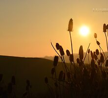 """"""" Thistles At Sunset """" by Richard Couchman"""